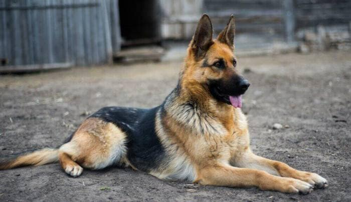 سگ-نگهبان